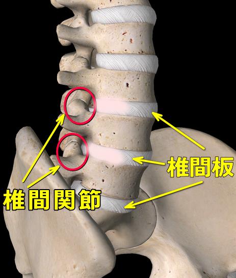 椎間板と椎間関節の画像